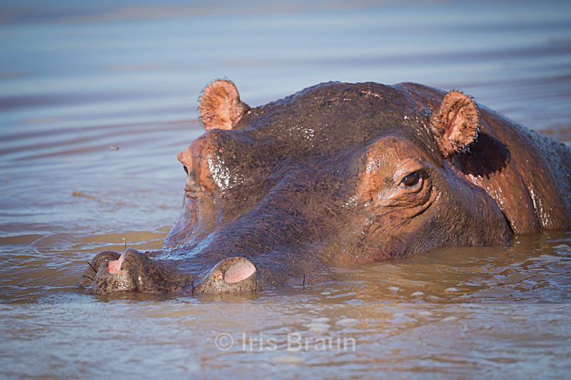 The Diver - Hippo