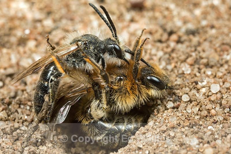 Andrena barbilabris (Pair) - Andrena barbilabris