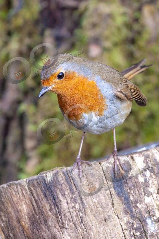 robin Erithacus rubecula-3423 - UK birds