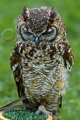 african spotted eagle owl Bubo africanus-6903 - Our Birds