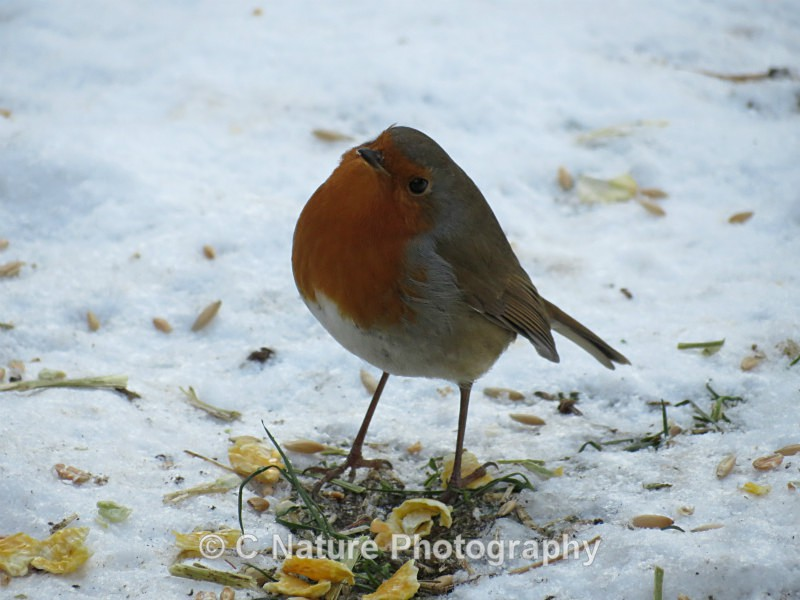 Winter Robin - Birds