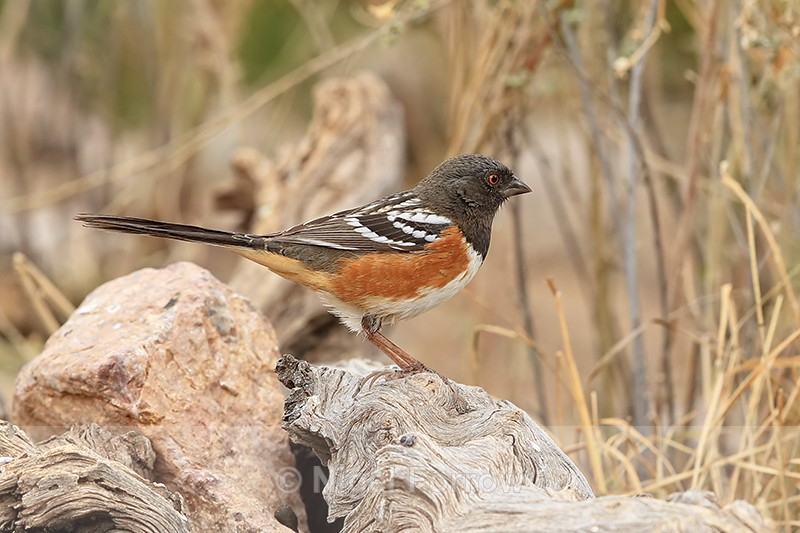 Spotted Towhee, Bosque del Apache, New Mexico - Spotted Towhee