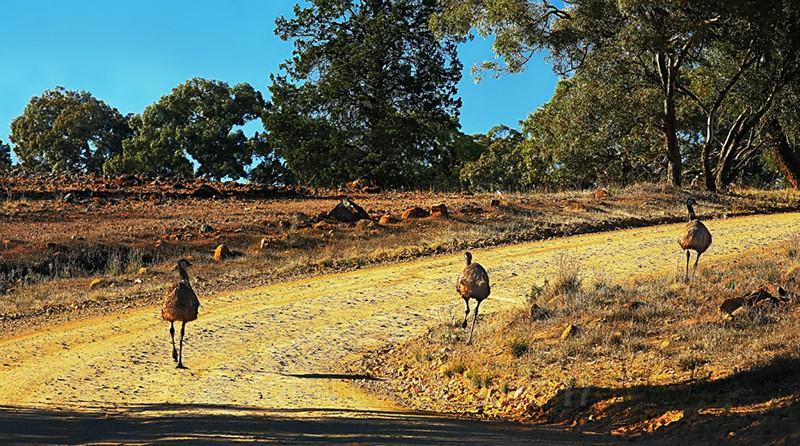 3 Emus running around the bend-0518 - ANIMAL AND BIRD PHOTOS