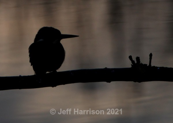 Kingfisher (image Kf 014) - Kingfishers