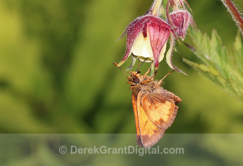 Poanes hobomok Geum rivale - Butterflies & Moths of Atlantic Canada
