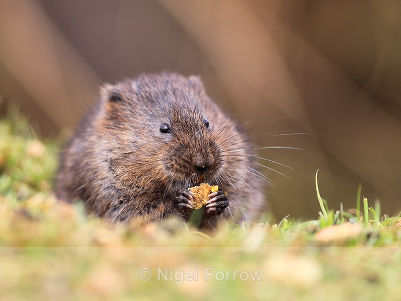 European Water Vole eating at the British Wildlife Centre - Vole