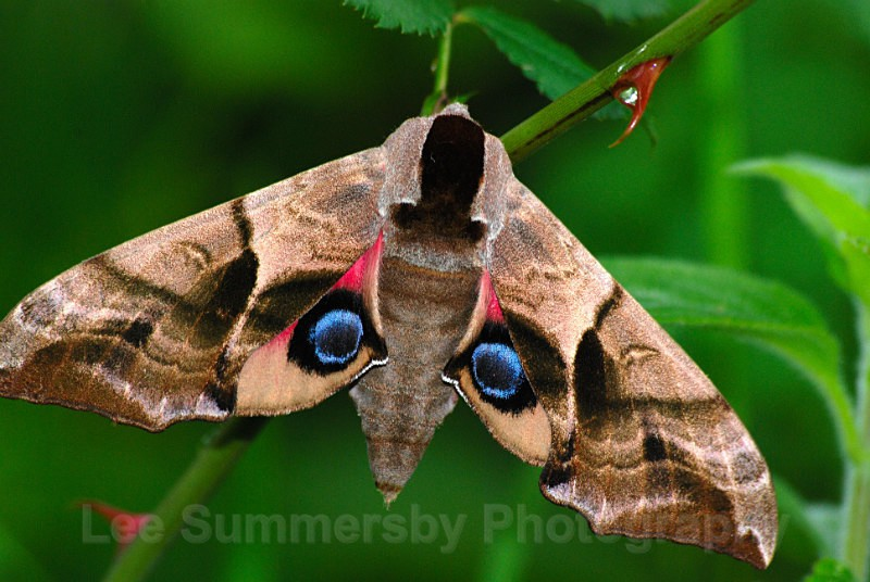 Eyed Hawk Moth, Dawlish Warren NNR - Butterflies and Moths