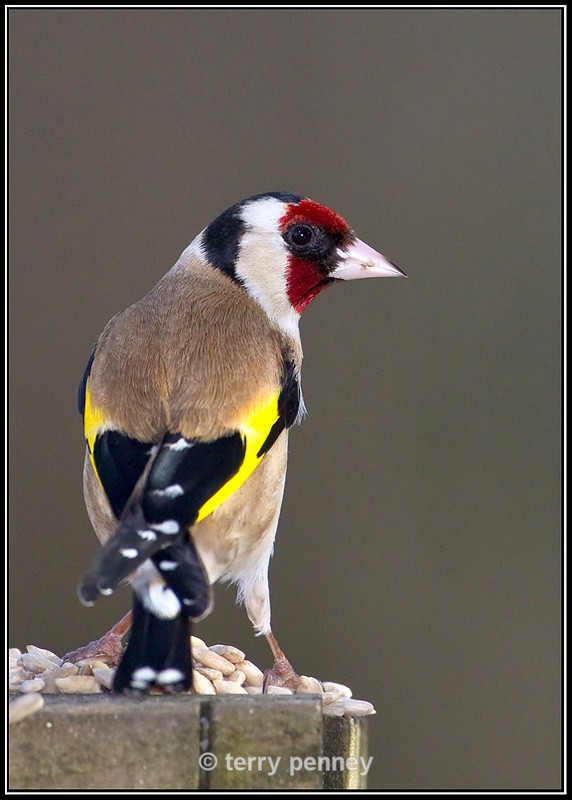 Goldfinch 1 - Cardeulis cardeulis - Birds