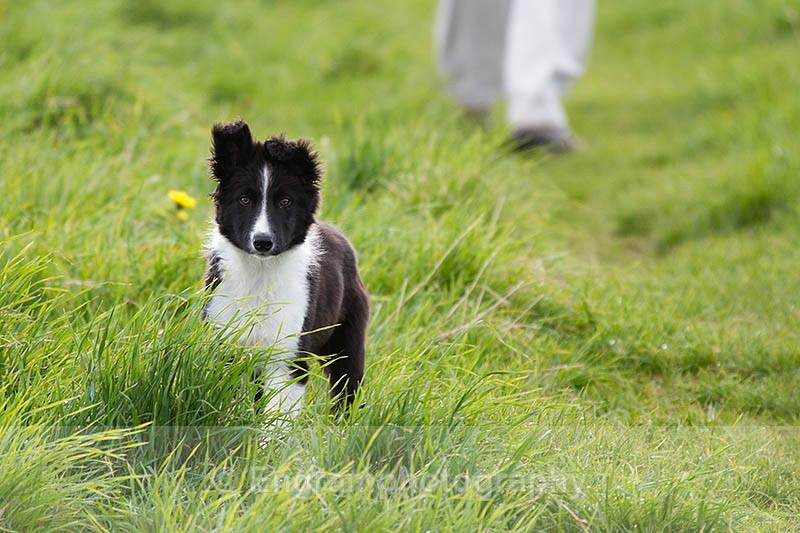 Collie Puppy-R4993 - Animals (Fauna)