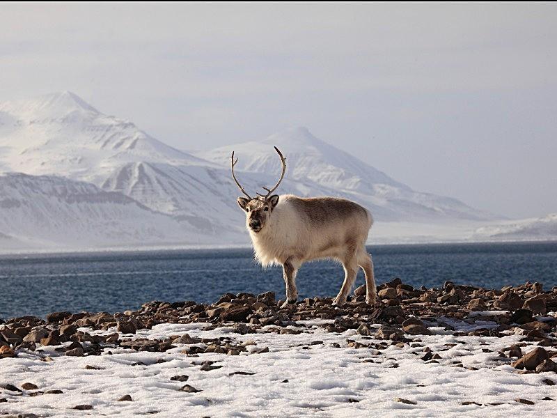 Reindeer - Wildlife