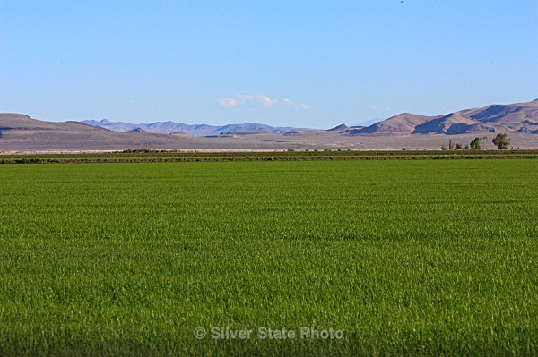 Teff Grass - Nevada (mostly) Landscapes