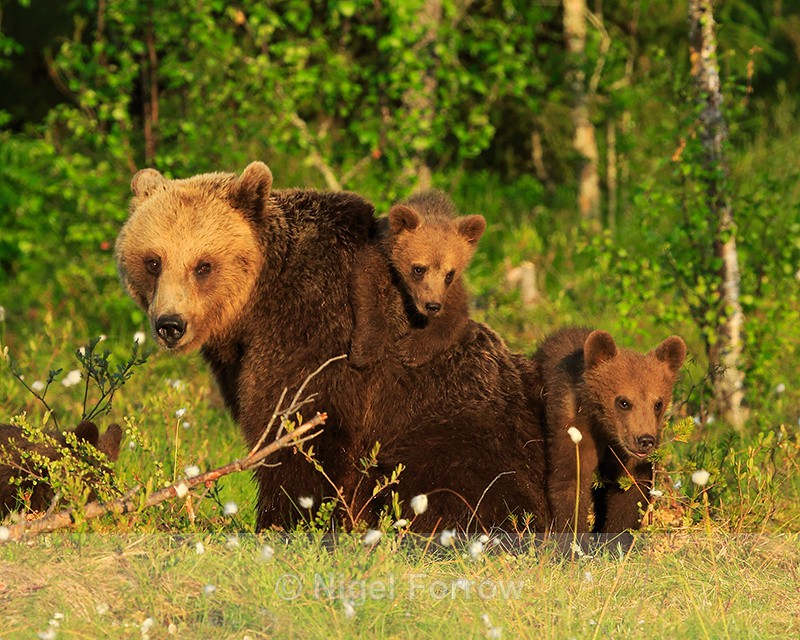 Mother Brown Bear and two cubs at Martinselkonen, Finland - Brown Bear