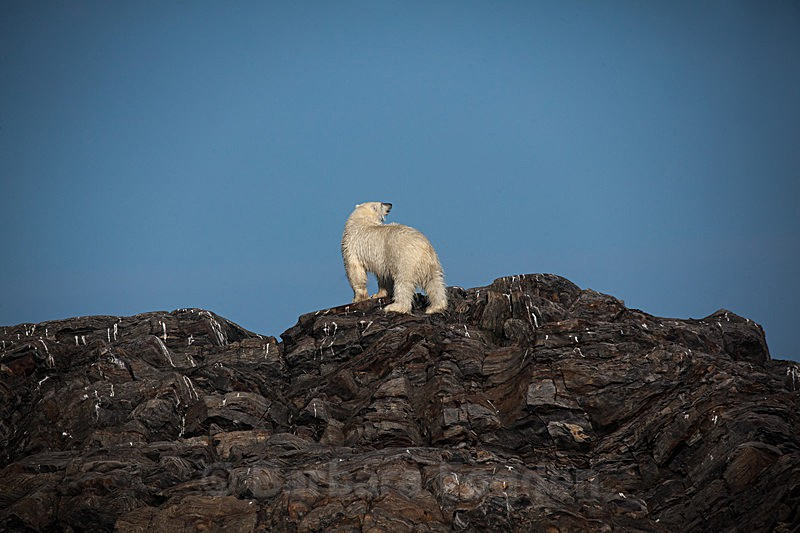 Polar bear  7786 - Trip with MS Expedition August 2016