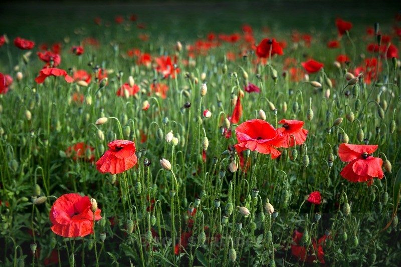 Deep Field of Poppies - Life on Man