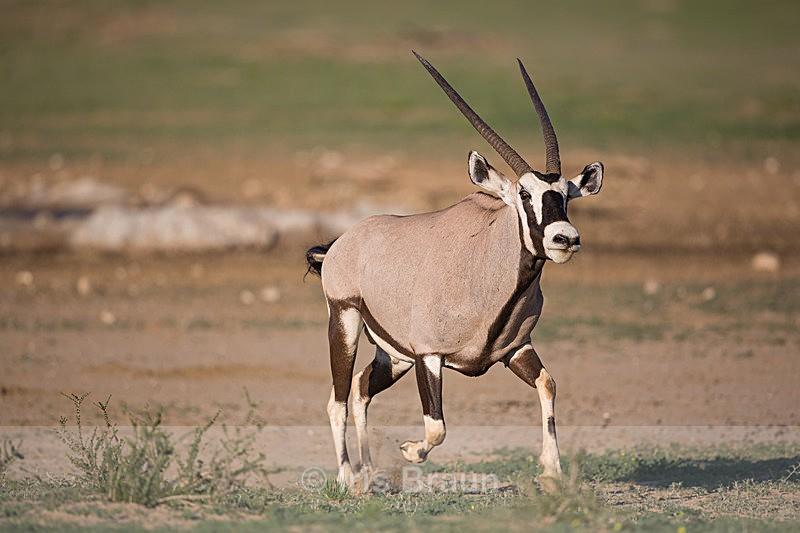 Jumpy - Antelope