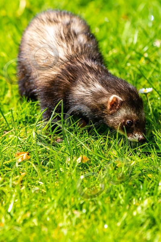 polecat Mustela putorius-4154 - UK Wildlife