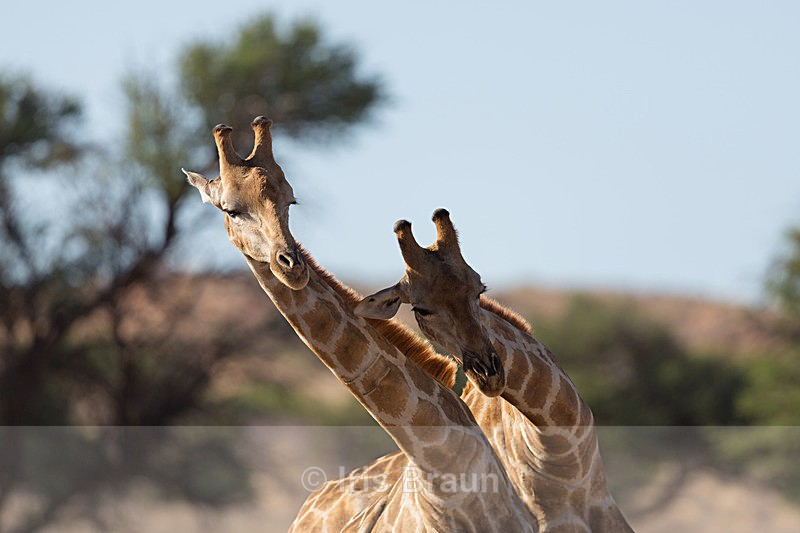 Bullfight II - Giraffe