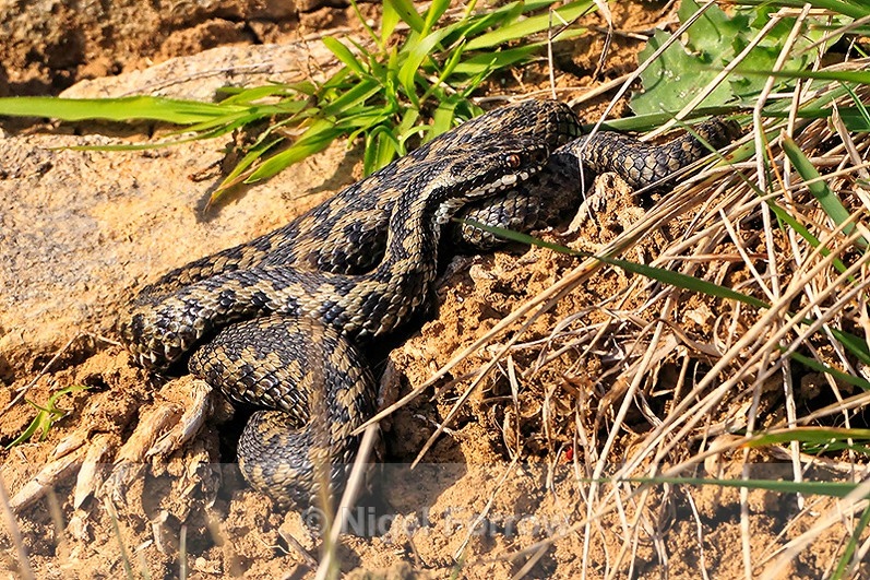 Adder basking in the sun above the entrance to the Caves - REPTILES & AMPHIBIANS