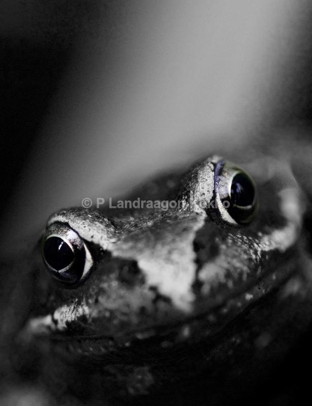 Portrait of a Frog - Portraits