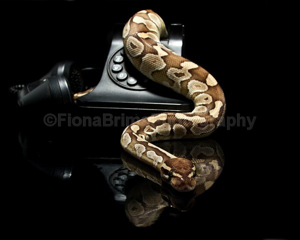 snakies-5 - Reptile Photography