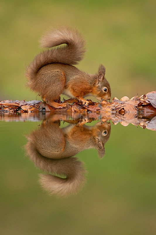 Red Squirrel - Simply Red Squirrels