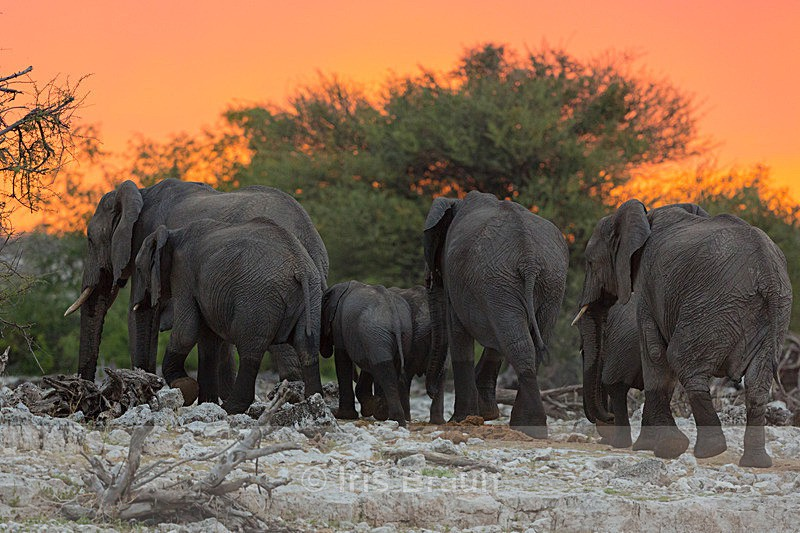 Walking into the sunset - Elephant