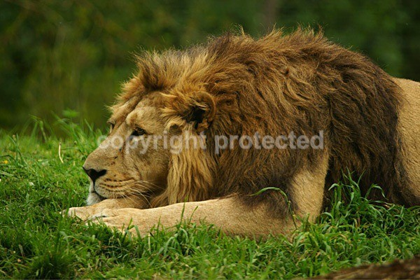 Asiatic Lion - Rana (Cotswold Wildlife Park) - Asiatic Lions