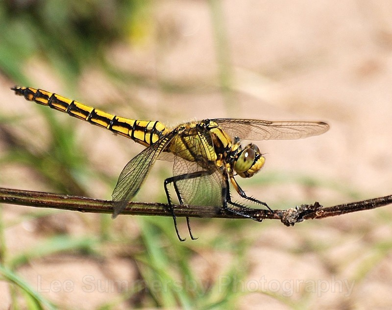 Black Tailed Skimmer fm Dawlish Warren dunes - Dragons and Damsels