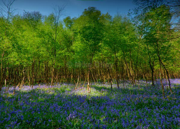 Ashridge Bluebells - Places