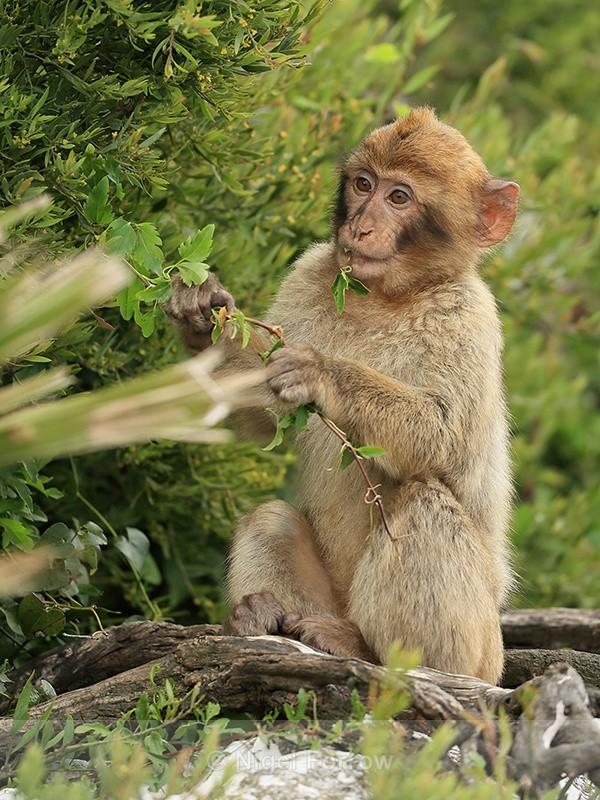 Young Barbary Macaque eating leaves, Rock of Gibraltar - Monkey