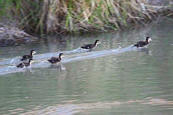 'Running on Water' Ducklings - 'Wildlife' (Big & Small)