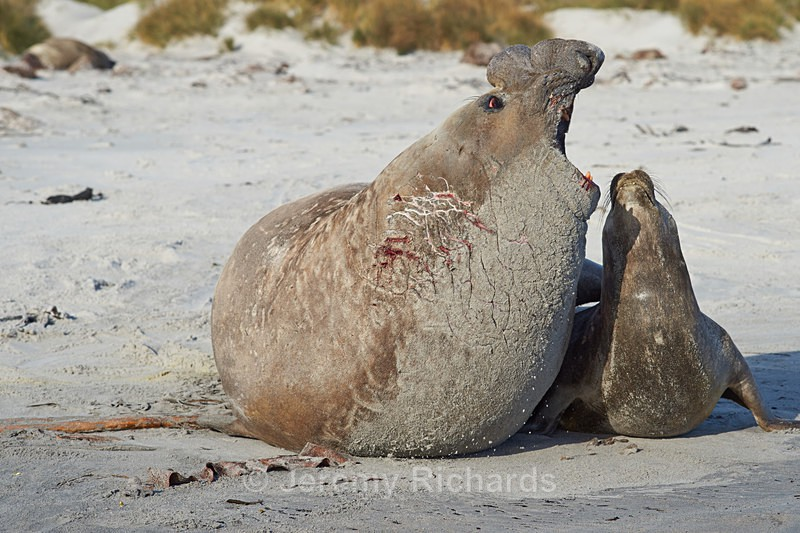 Elephant Seals Mating - Sea Lion Island