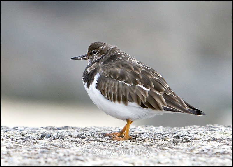 Turnstone (Arenaria  interpres) - Birds
