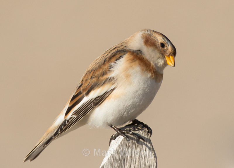 Snow Bunting - The rest.....