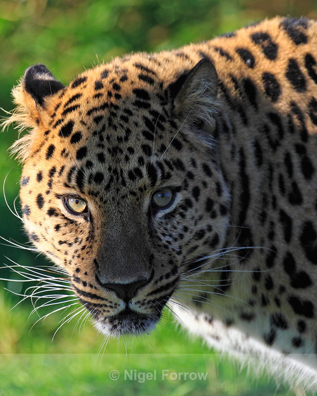 Amur Leopard close-up - Leopard