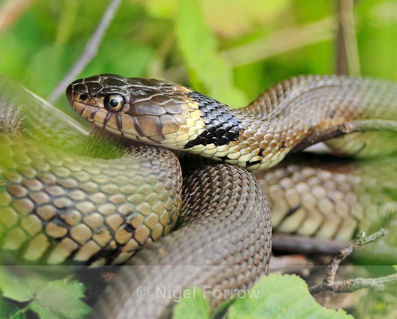Grass Snake basking at Otmoor - REPTILES & AMPHIBIANS