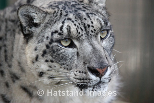 Snow leopard - nature