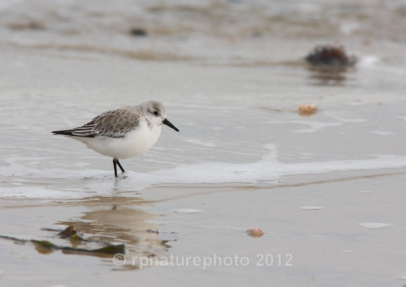 Sanderling Winter Plumage - Calidris alba RPNP0093 - Birds
