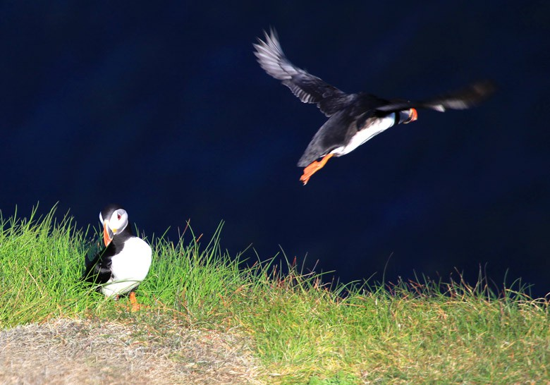 Puffin Time - Causeway Coastal Route (Landscapes and Nature)