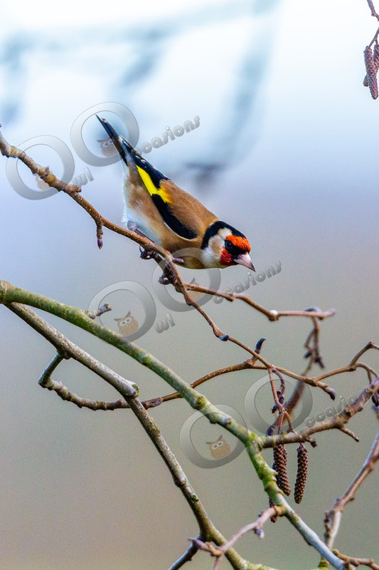 goldfinch Carduelis carduelis 1250 - UK birds