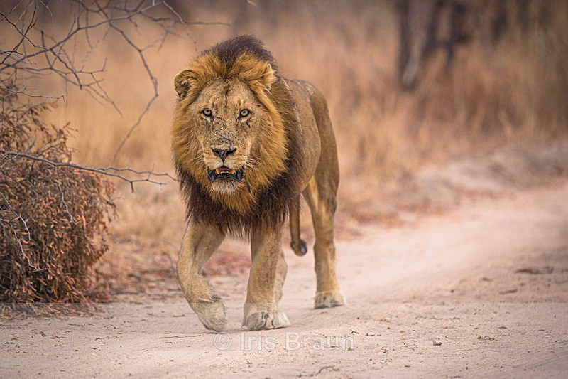 Walking into the weekend - Lion