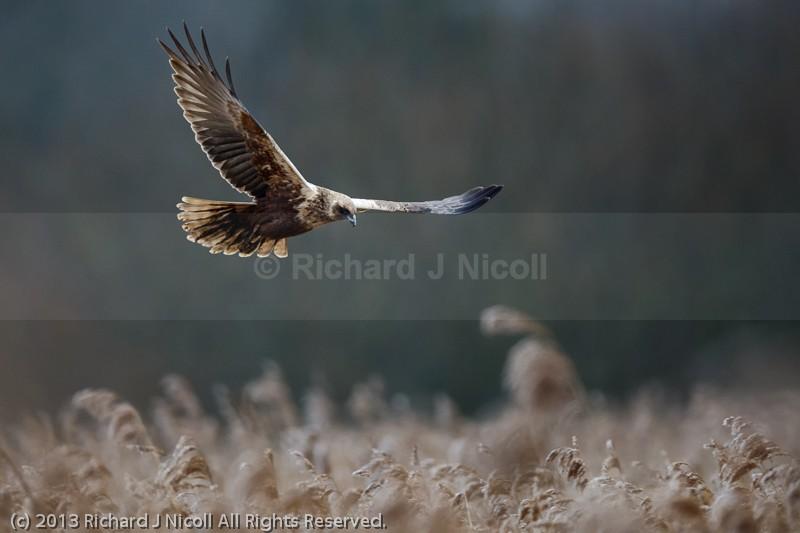 Marsh Harrier (Circus aeruginosus) female landing - Marsh Harrier (Circus aeruginosus)