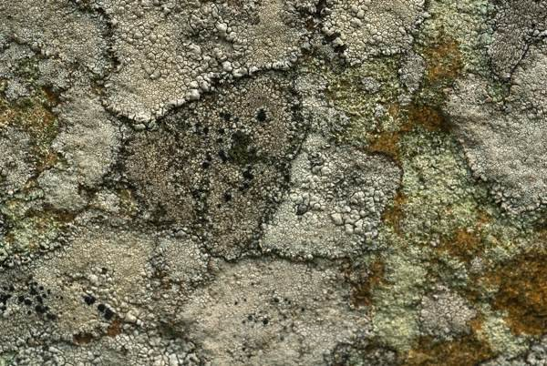 Arrowhead Lichen - Stonehenge