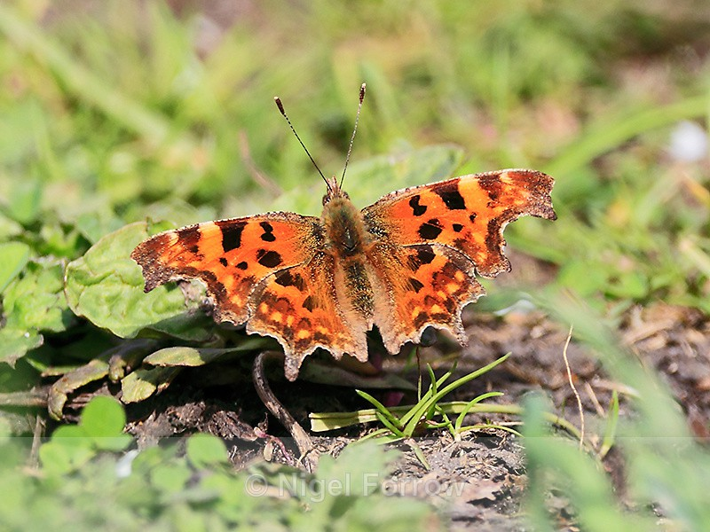 Comma basking on the Roman Road, Otmoor - INSECTS