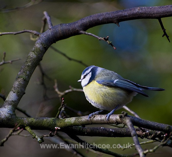Blue tit - British Wildlife