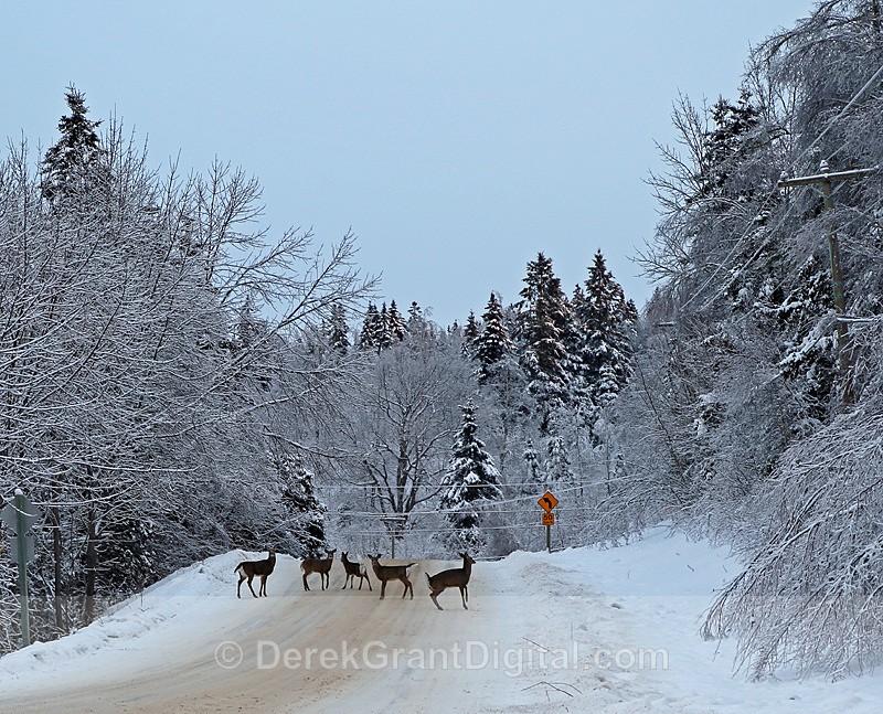 Deer Roadblock - The Great Ice Storm of 2013
