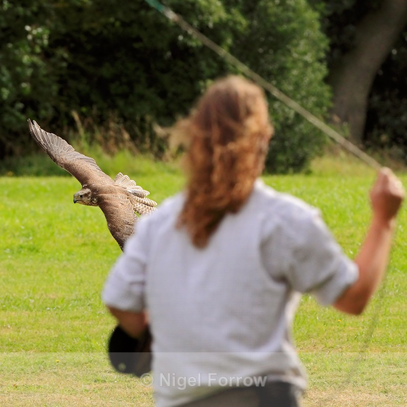 Falcon on a rapid approach to a falconer swinging some food on a line - Captive Birds