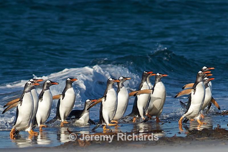 Gentoo Penguins - Sea Lion Island