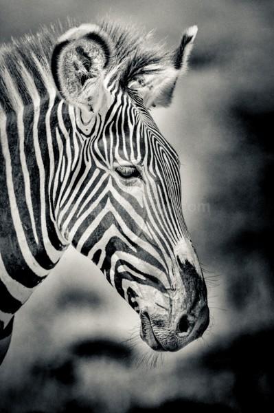 Grevy's, Zebra, Shaba, Kenya