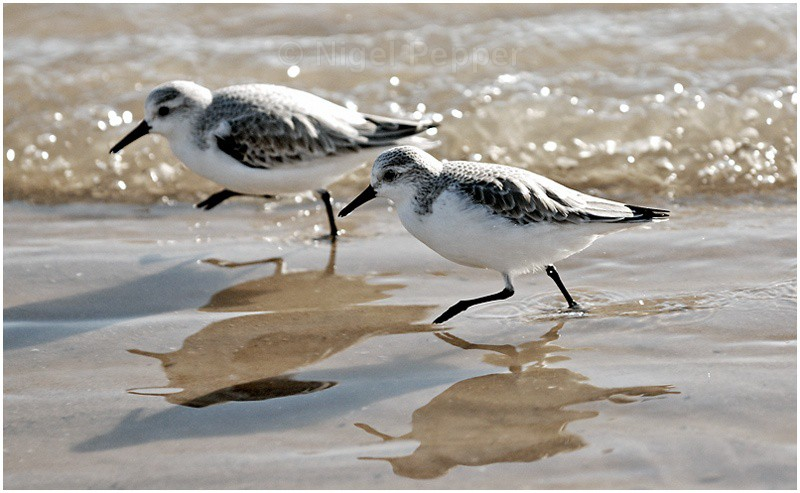 Ready Steady Go - Sanderlings and Turnstones